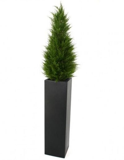 conifer-in-planter
