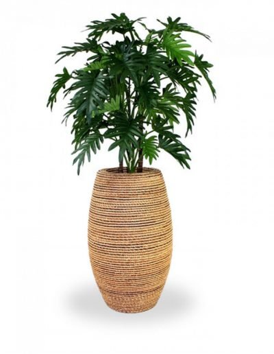 philodendron-2
